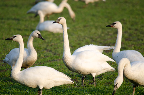 Trumpeter Swans-006