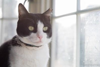 アトリエイエネコ Cat Photographer 26476648528_544045c318 「猫を斜め45度から撮影する」をやってみる 里親募集のための写真術  高槻ねこのおうち 里親様募集中 猫写真 猫 子猫 大阪 初心者 写真 保護猫カフェ 保護猫 スマホ カメラ Kitten Cute cat