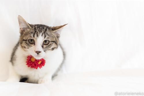 アトリエイエネコ Cat Photographer 38784055955_e257344a04 1日1猫!おおさかねこ倶楽部 里親様募集中のサンマ君です♬ 1日1猫!  里親様募集中 猫写真 猫 子猫 大阪 写真 保護猫 ニャンとぴあ スマホ カメラ おおさかねこ倶楽部 Kitten Cute cat