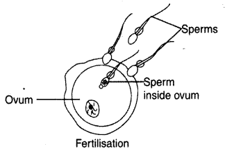 NCERT Solutions for class 8 Science Reproduction in Animals