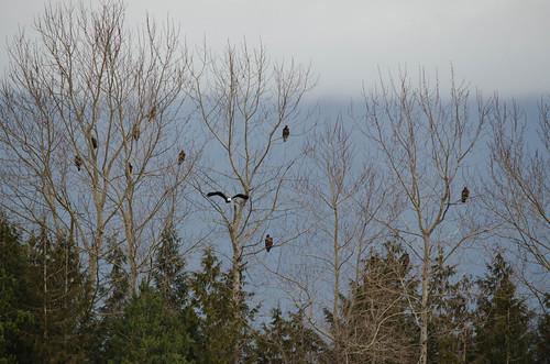 Eagles in Skagit Valley-004