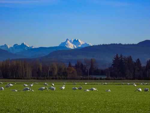 Skagit Bird Watching-3