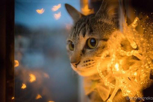 アトリエイエネコ Cat Photographer 40295060082_d6c71e6d2f 1日1猫!高槻ねこのおうち お声がかかったリボンちゃん♪ 1日1猫!  高槻ねこのおうち 里親様募集中 猫写真 猫 子猫 大阪 写真 保護猫 キジ Kitten Cute cat