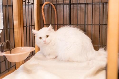 アトリエイエネコ Cat Photographer 38889537125_1d918fee0c 1日1猫!CaraCatCafe 初めまして! 1日1猫!  箕面 猫写真 猫 子猫 大阪 写真 保護猫カフェ 保護猫 スマホ カメラ Kitten Cute cat caracatcafe