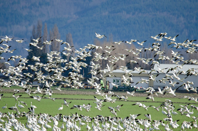Fir Island Snow Geese-013