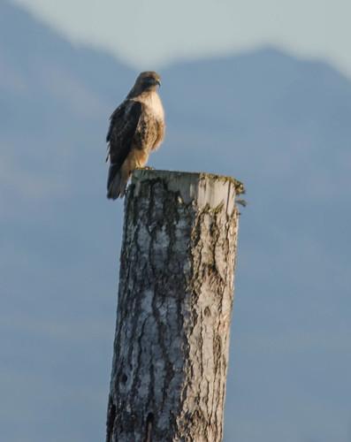 Skagit Bird Watching-19