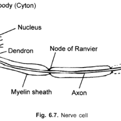 Labelled Diagram Of Nerve Cell Kenmore 70 Series Washer Cbse Class 9 Science Practical Skills Plant And Animal Tissues