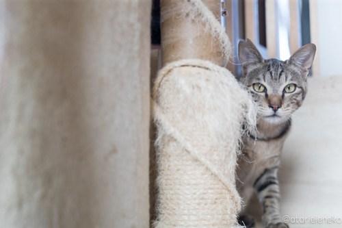 アトリエイエネコ Cat Photographer 40186976162_197ce3943c 1日1猫!おおさかねこ俱楽部 ツンデレなこんぶ君♪ 1日1猫!  里親様募集中 猫写真 猫 子猫 大阪 初心者 写真 保護猫 キジ猫 おおさかねこ倶楽部 Kitten Cute cat