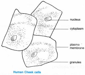 NCERT Class 9 Science Lab Manual  Slide of Onion Peel and