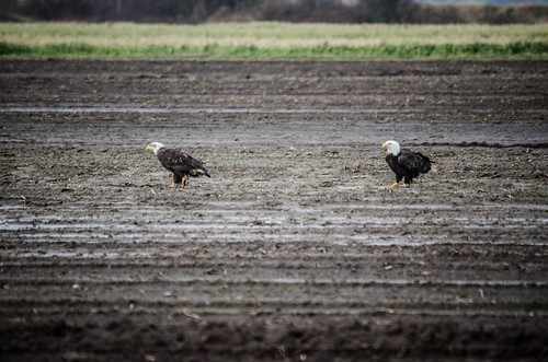 Eagles in Skagit Valley-010