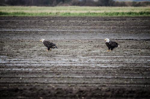 Eagles in Skagit Valley-010