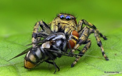 Jumping spider, Salticidae & Fly