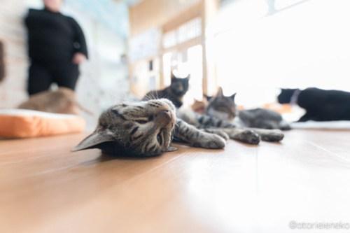 アトリエイエネコ Cat Photographer 26485487078_b78c625098 1日1猫!猫カフェきぶん屋さんに行ってきました♪(1/3) 1日1猫!  里親様募集中 猫写真 猫 子猫 大阪 写真 兵庫 保護猫カフェ 保護猫 キジ猫 カメラ きぶん屋 Kitten Cute cat