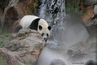 Panda géant_HUAN HUAN