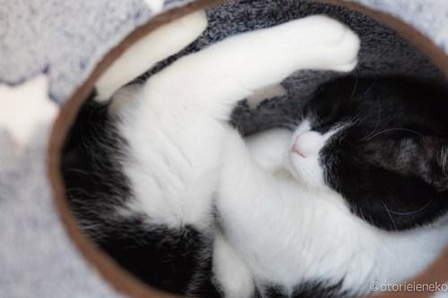 アトリエイエネコ Cat Photographer 39709422625_6ef8ae4f9c 1日1猫!保護猫カフェ&猫ホテルねこんチ 里親様募集中のベルクくん♪ 1日1猫!  里親様募集中 猫写真 猫 子猫 大阪 初心者 写真 保護猫カフェねこんチ 保護猫カフェ 保護猫 ハチワレ スマホ カメラ Kitten Cute cat