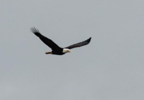 Eagles in Skagit Valley-005
