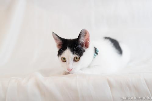 アトリエイエネコ Cat Photographer 38972932374_bc8fee44ae 1日1猫!おおさかねこ倶楽部 里親様募集中のジンベエ君です♬ 1日1猫!  里親様募集中 猫写真 猫 子猫 大阪 写真 保護猫 スマホ カメラ おおさかねこ倶楽部 Kitten Cute cat
