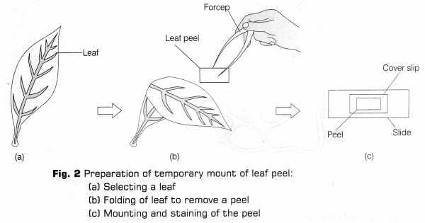 CBSE Class 10 Science Lab Manual - Stomata - A Plus Topper