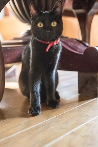 アトリエイエネコ Cat Photographer 38889725555_3813e5b0ab 1日1猫!CaraCatCafe 里親募集中の黒猫マックくん 1日1猫!  黒猫 里親様募集中 箕面 猫写真 猫 子猫 大阪 写真 保護猫カフェ 保護猫 スマホ カメラ Kitten Cute cat caracatcafe