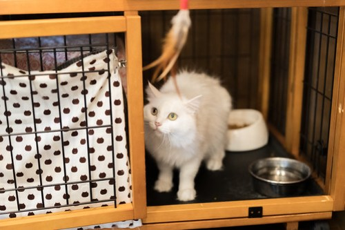 アトリエイエネコ Cat Photographer 25916199398_4611d76eea 1日1猫!CaraCatCafe 初めまして! 1日1猫!  箕面 猫写真 猫 子猫 大阪 写真 保護猫カフェ 保護猫 スマホ カメラ Kitten Cute cat caracatcafe