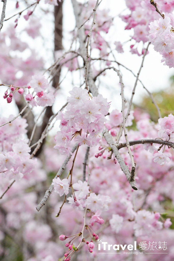京都赏樱景点 伏见十石舟 (45)