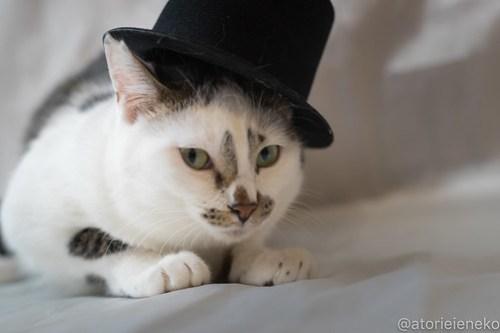 アトリエイエネコ Cat Photographer 39067299960_94cbe821d0 1日1猫!ニャンとぴあ タラちゃん♪ 1日1猫!  里親様募集中 猫写真 猫 子猫 大阪 初心者 写真 保護猫カフェ 保護猫 ニャンとぴあ スマホ カメラ おおさかねこ倶楽部 Kitten Cute cat