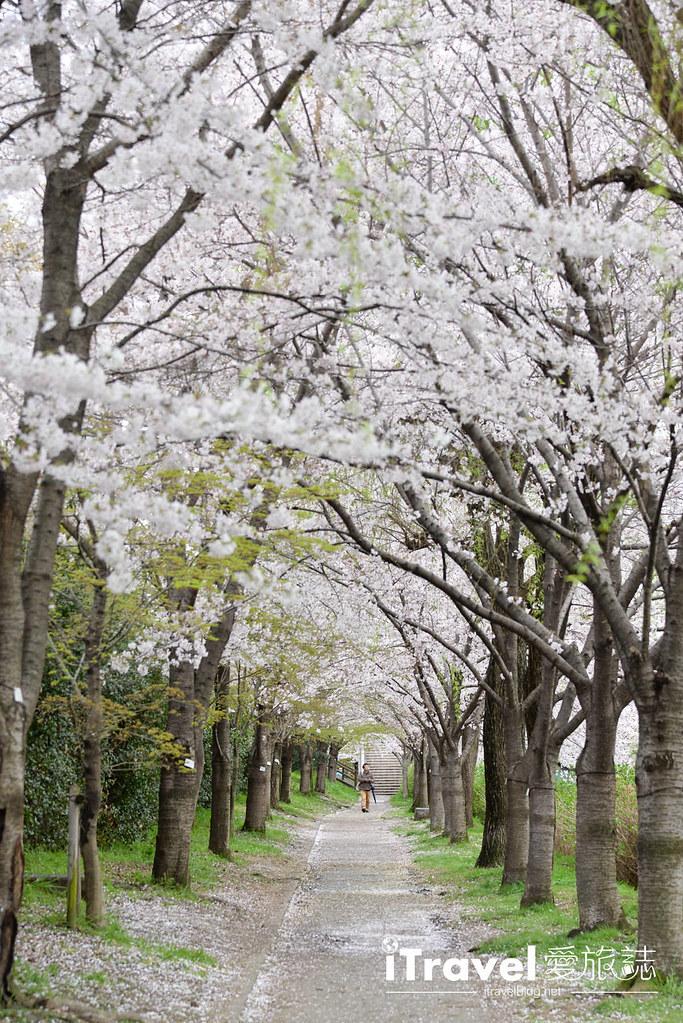 京都赏樱景点 伏见十石舟 (47)