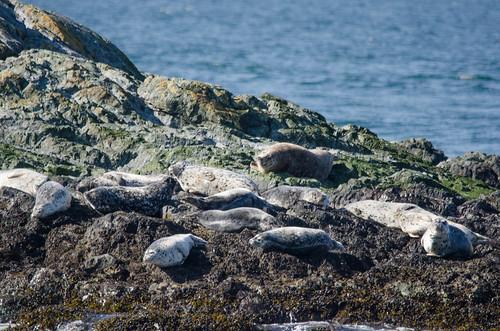 Harbor Seals-003