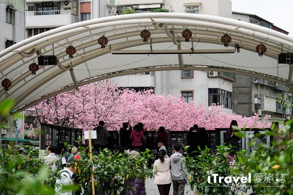 土城赏樱景点 希望之河左岸樱花 (4)