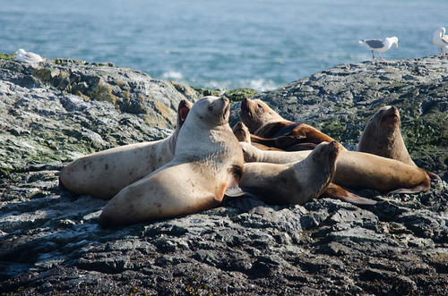 Sea Lions-005