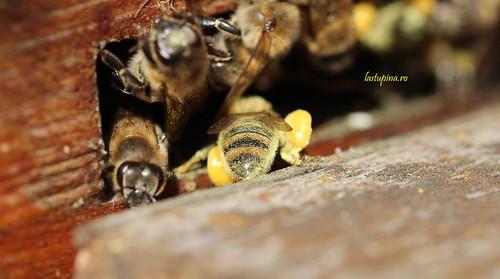 Albine cu polen