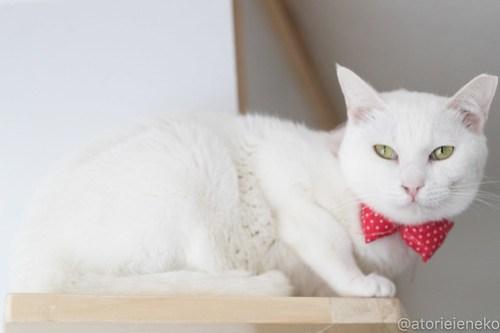 アトリエイエネコ Cat Photographer 40230995014_d8195d4f13 1日1猫!高槻ねこのおうち 里親様募集中のゆきちゃん♪ 1日1猫!  高槻ねこのおうち 里親様募集中 白猫 猫写真 猫 子猫 大阪 初心者 写真 保護猫 スマホ カメラ Kitten Cute cat