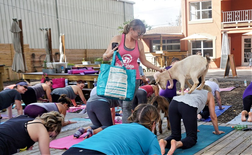 Kelly Diedring Harris, Owner of Goat Yoga Tampa, coaxes one of her Nigerian Dwarf goats off of a yoga participant. - Goat Yoga Tampa at In the Loop Brewing, Land O'Lakes, Fla., Feb. 11, 2018