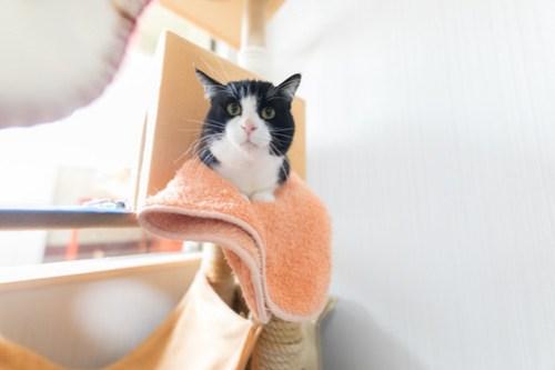 アトリエイエネコ Cat Photographer 39032206130_63d7e25e6c 1日1猫! 3/10オープン!保護猫カフェけやきさんへ行く(3/3) 1日1猫!  高槻ねこのおうち 里親様募集中 猫写真 猫カフェ 猫 子猫 大阪 初心者 写真 保護猫カフェけやき 保護猫カフェ 保護猫 スマホ カメラ Kitten Cute cat