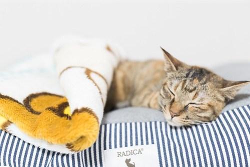 アトリエイエネコ Cat Photographer 39947682215_6d7221d15f 1日1猫! 3/10オープン!保護猫カフェけやきさんへ行く(1/3) 1日1猫!  高槻ねこのおうち 里親様募集中 猫写真 猫カフェ 猫 子猫 大阪 初心者 写真 保護猫カフェけやき 保護猫カフェ 保護猫 スマホ カメラ けやき Kitten Cute cat