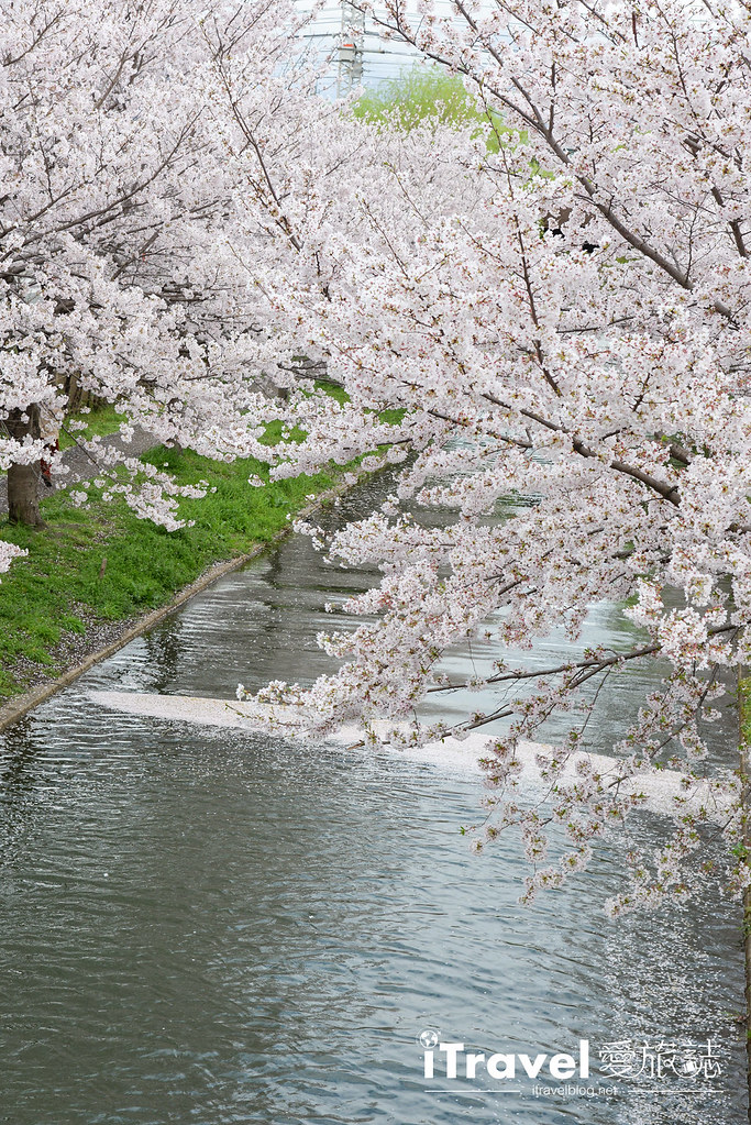 京都赏樱景点 伏见十石舟 (8)
