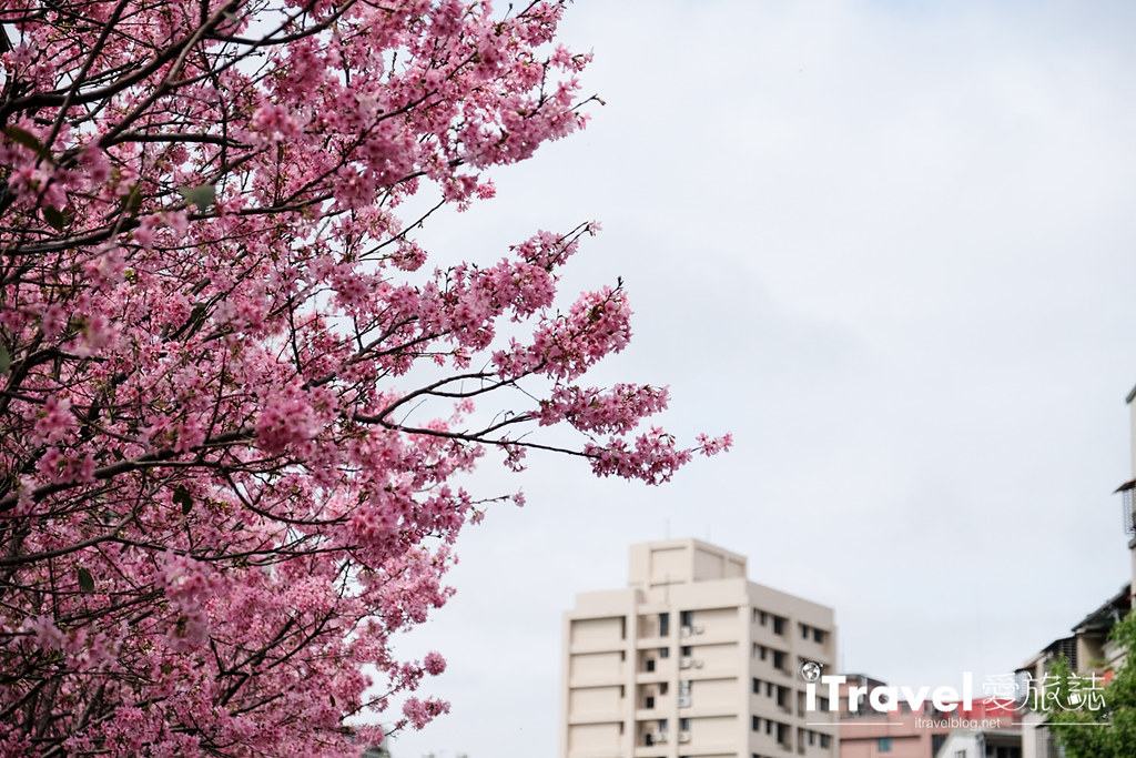 土城赏樱景点 希望之河左岸樱花 (15)