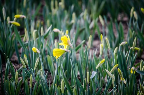 Skagit Valley Daffodils-003