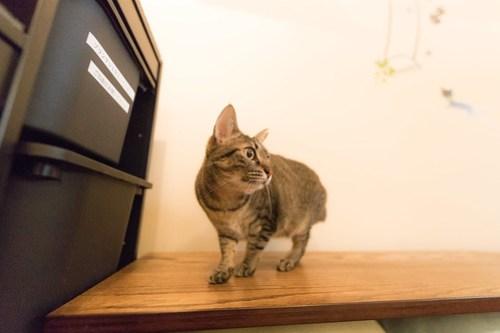 アトリエイエネコ Cat Photographer 39162083790_76ed66fb02 1日1猫!保護猫カフェみーちゃ・みーちょ その1 未分類  里親様募集中 猫写真 猫 子猫 大阪 初心者 写真 保護猫カフェ 保護猫 カメラ みーちゃ・みーちょ Kitten Cute cat