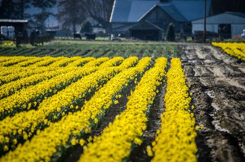 Skagit Daffodils-25