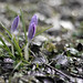 Crocuses - is spring comming?
