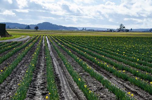 Skagit Valley Daffodils-001