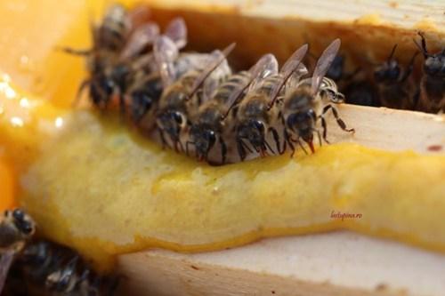 Hranire miere cu polen