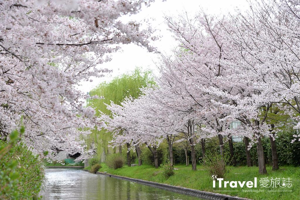 京都赏樱景点 伏见十石舟 (50)