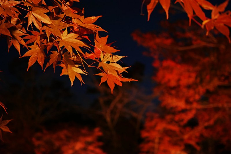 autumn colored leaves Tsukinoishi Momiji Park 10
