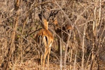 Terwijl we terugreden naar de lodge vluchten er nog een paar jonge mannetjes impalas de bosjes in.