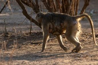 Een stukje verderop kwam er een roedel vermoedelijk gele bavianen (Papio cynocephalus) langs.