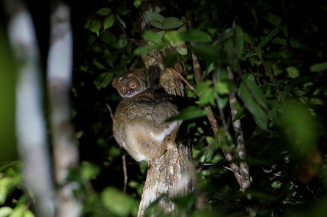 Nocturnal Lemur