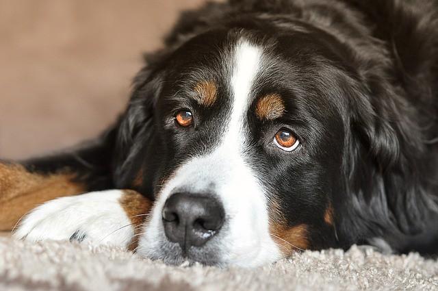 これから健康診断を受けると決めた犬