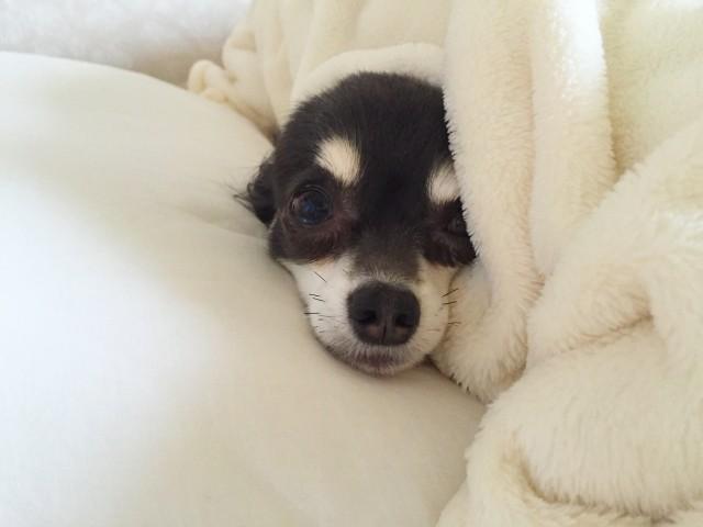 冬にブランケットで暖を取る犬